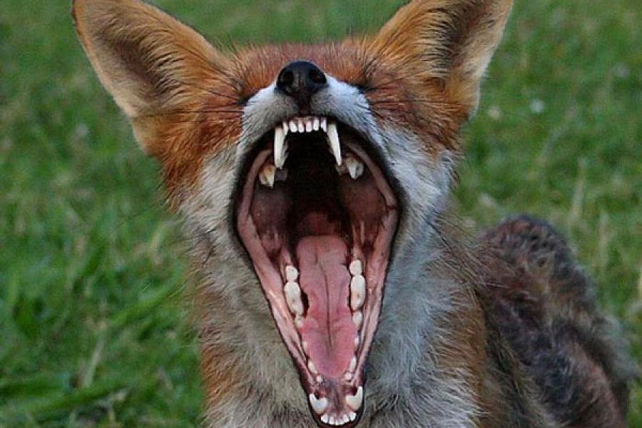 В Тверской области застрелили бешеную лису