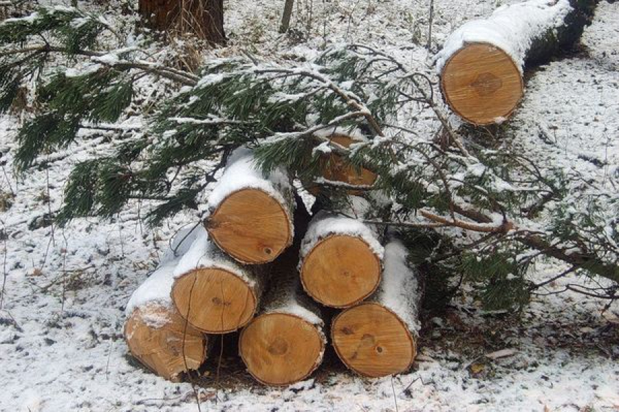 В Бологовском районе поймали местных жителей, незаконно срубивших почти сотню деревьев