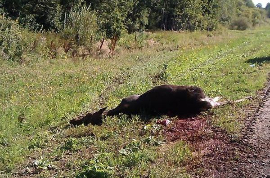 Автомобилисты все чаще сбивают лосей на дорогах Тверской области