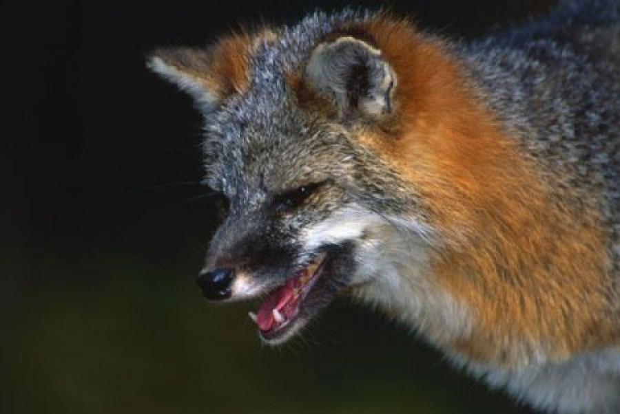 Бешеная лиса убита в Лесном районе