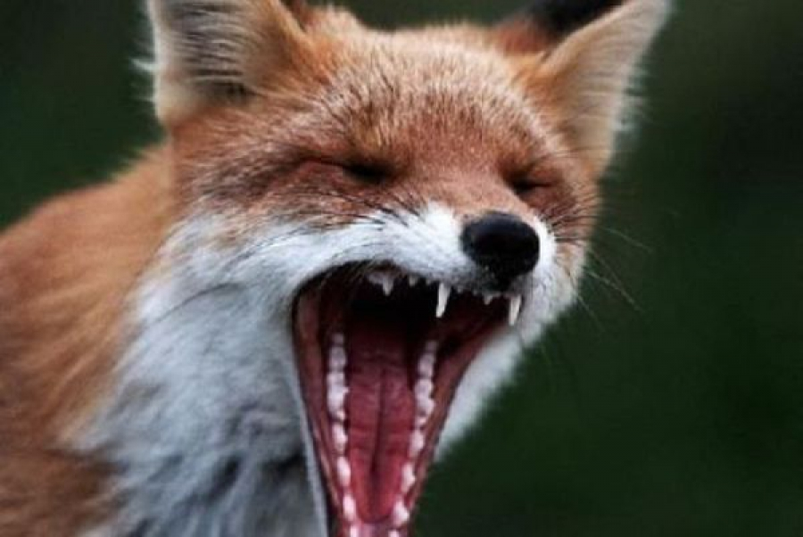 В Зубцовском районе бешеная лиса напала на кавказскую овчарку