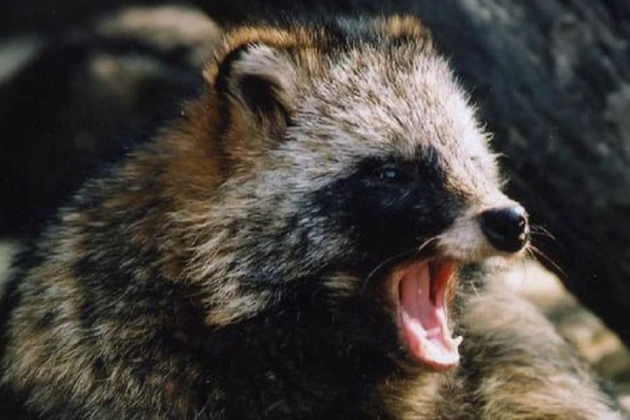 В Вышнем Волочке убита бешеная енотовидная собака