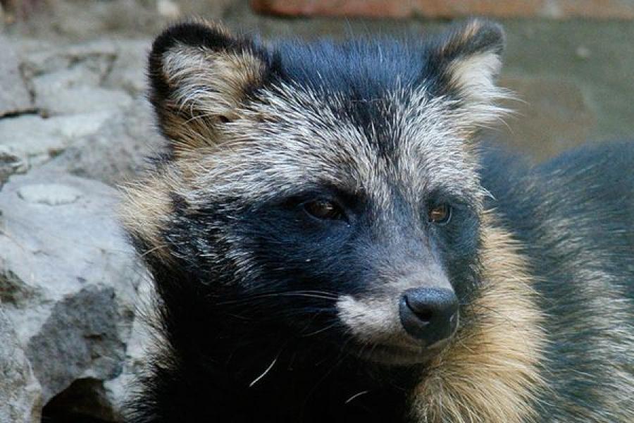 В Оленинском районе застрелили бешеную енотовидную собаку