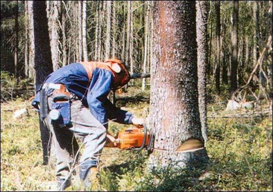 «Лесорубы», спилившие 660 деревьев, задержаны в Торжокском районе