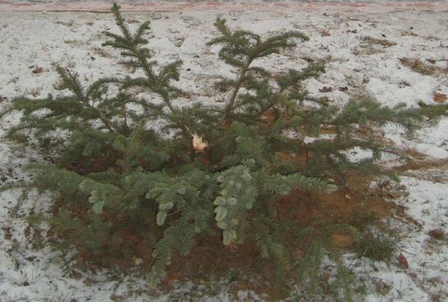 В центре Торжка срубили голубую ель: за поимку виновного объявлено вознаграждение