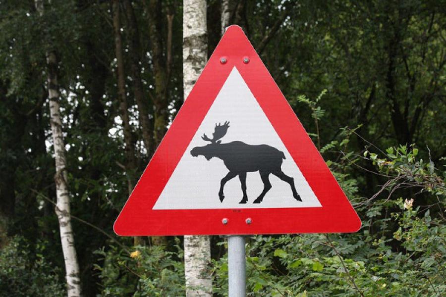 Лоси выходят на дороги: водителей просят быть внимательнее