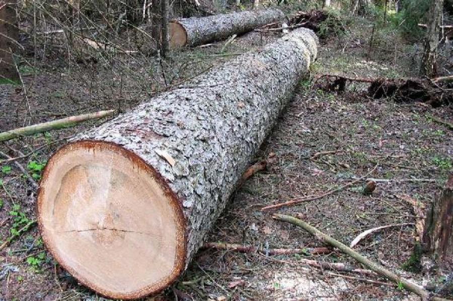 «Чёрным лесорубам», вырубившим в Ржевском районе более 900 елей и сосен, предъявлено обвинение