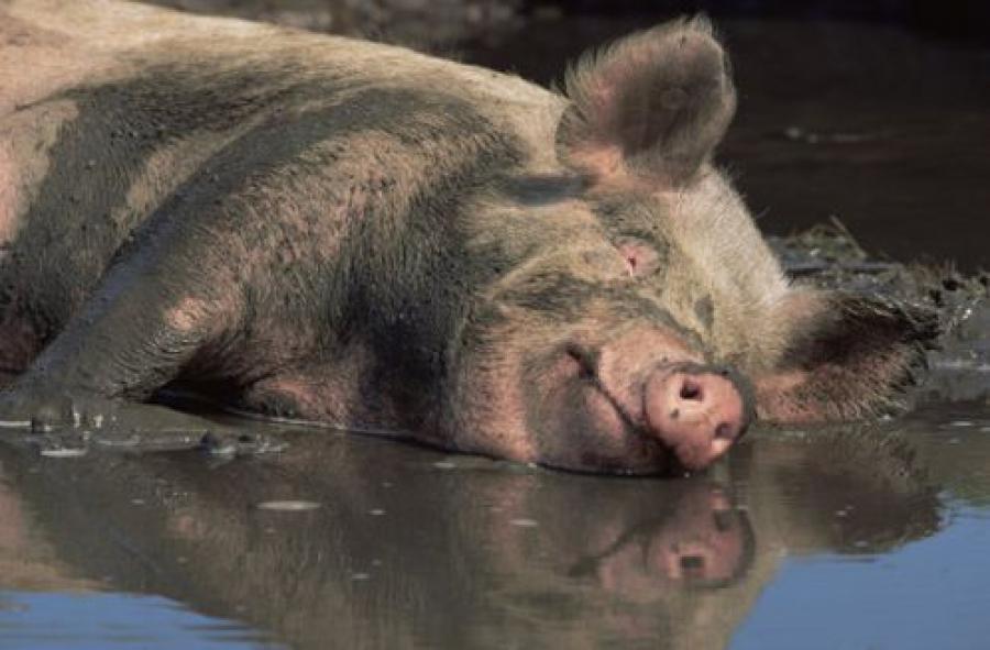 Введены временные ограничения на поставку свиноводческой продукции из Беларуси