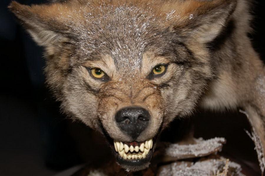 Экологи предупреждают тверитян об опасности контакта с бешеными животными