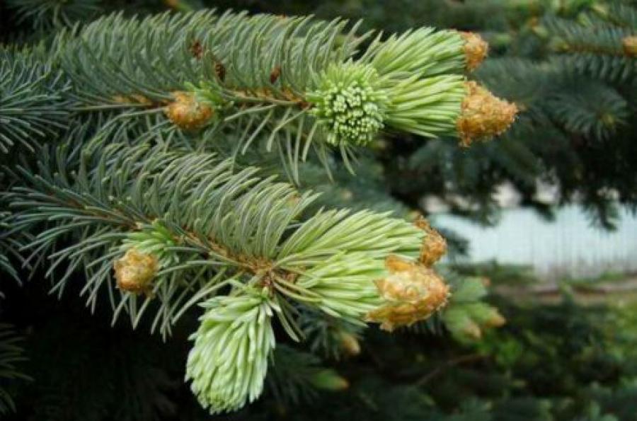 В новогодние праздники в Верхневолжье незаконно срубили елей всего на 2,2 тысячи рублей
