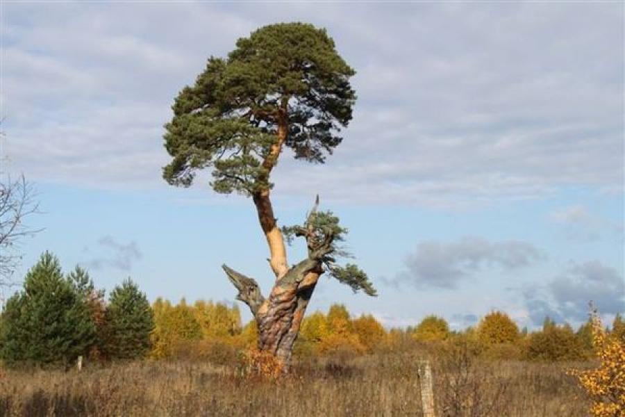 Сосна из Тверской области пополнила национальный реестр деревьев-старожилов