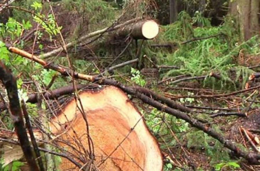 Крупная нелегальная порубка леса выявлена в Тверской области