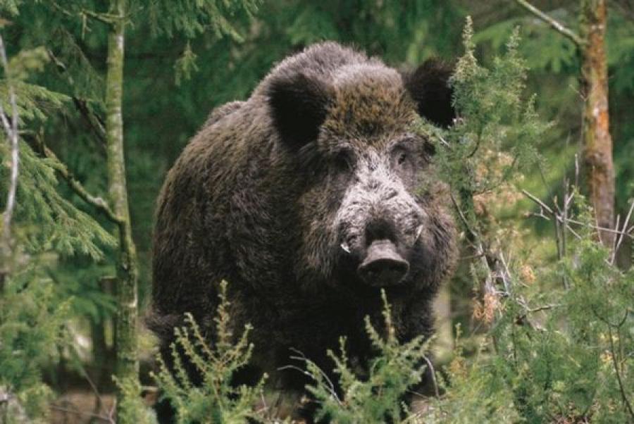 В Тверской области открыта охота на кабана