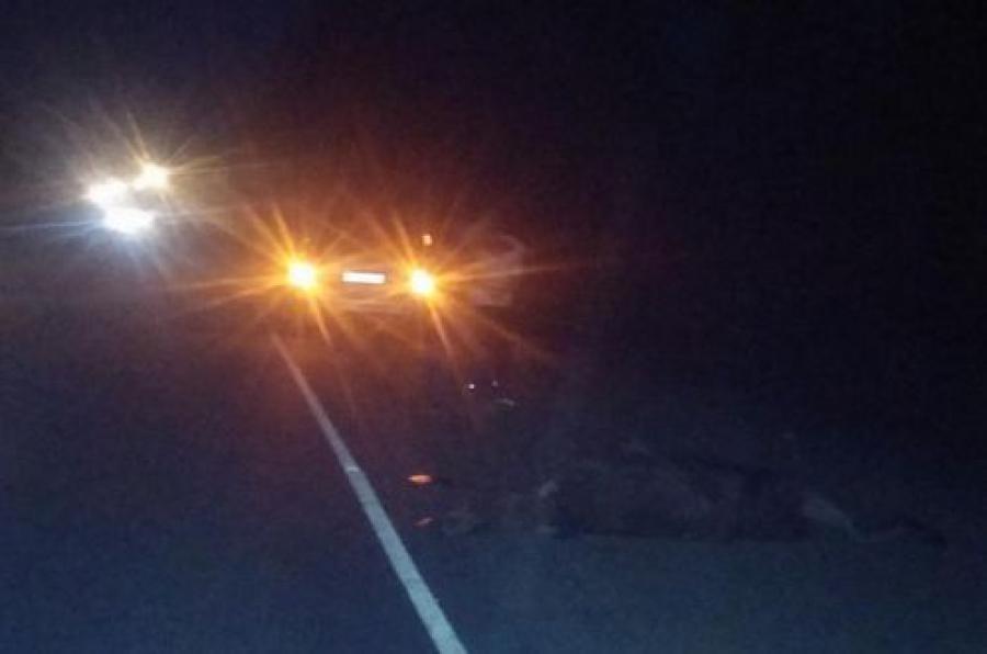 Водитель легковушки сбил лося на дороге Тверь — Волоколамск