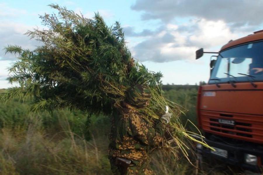 В Калининском районе вырубили дикорастущую коноплю