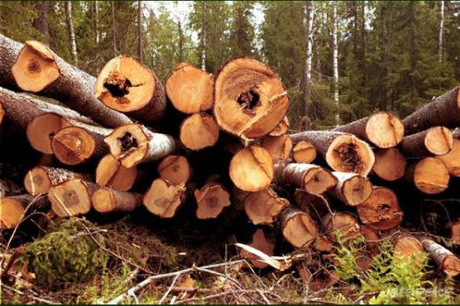 Незаконная рубка леса: рубят меньше и реже