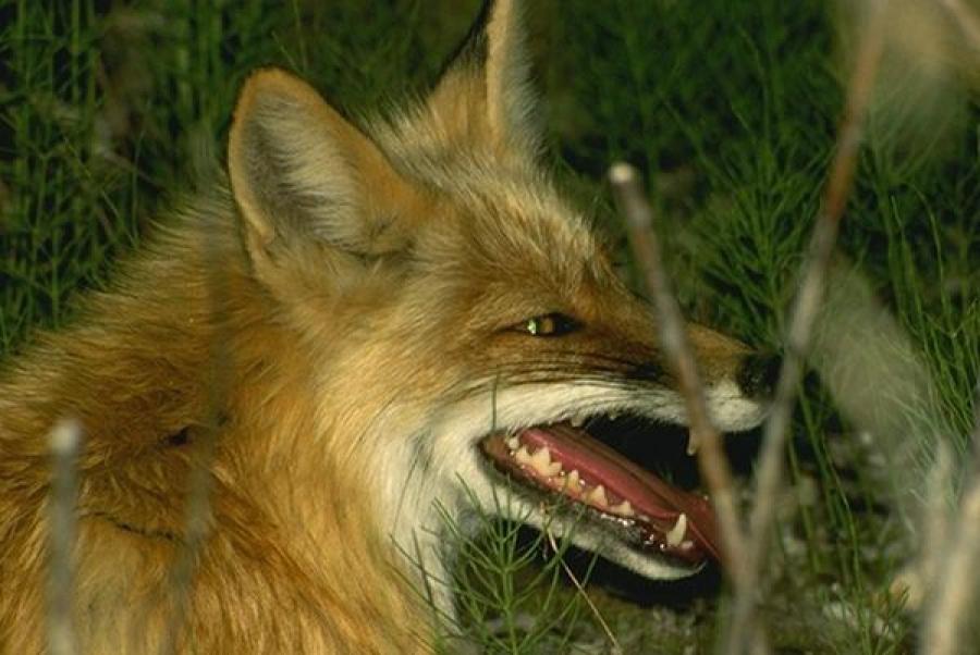 Бешеная лиса застрелена в Тверской области