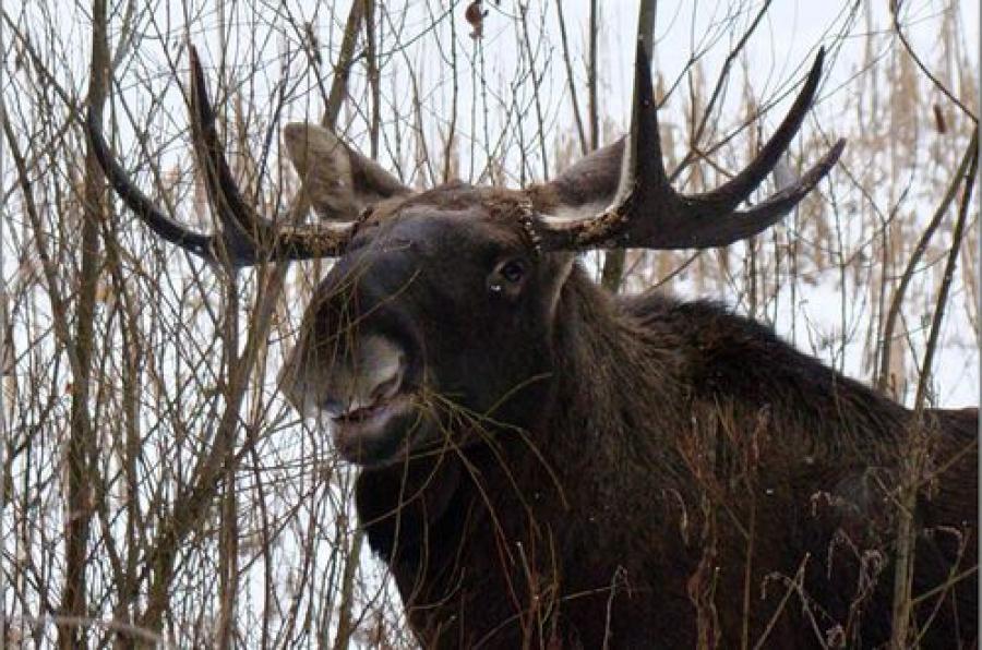 Завершается сезон охоты на лося
