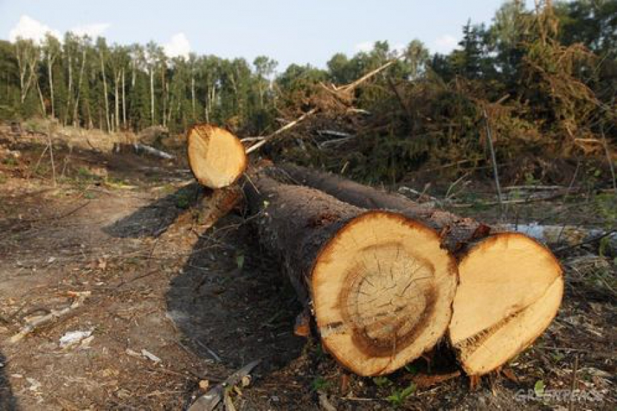 Бывший председатель колхоза признан виновным в незаконных рубках леса и самоуправстве