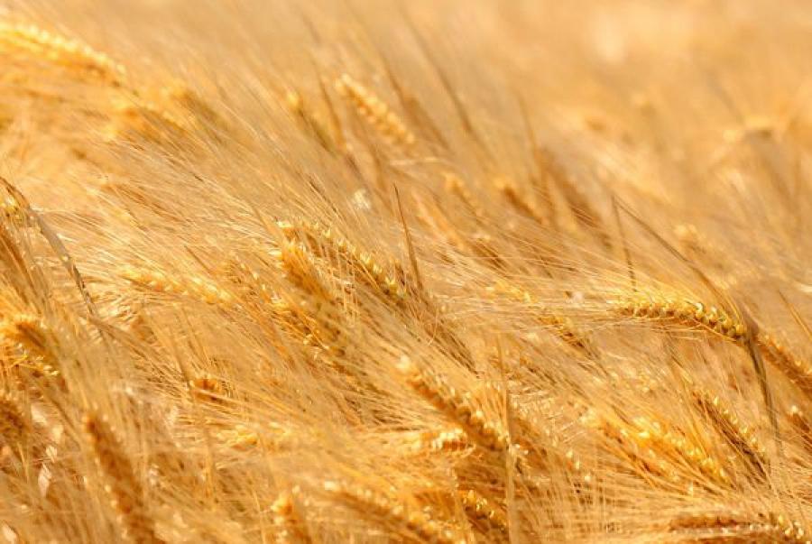 Отборные сорта и качество семян — залог высокой урожайности