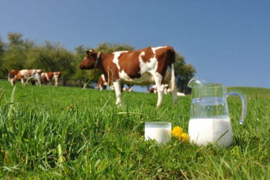 В Тверской области коровы стали давать больше молока
