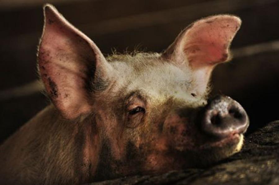 Свиней запретили на три года