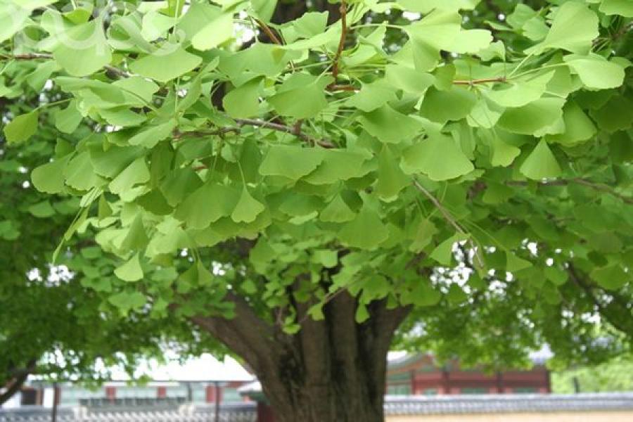 Высадкой уникальных деревьев в Тверском ботаническом саду почтят память жертв Хиросимы