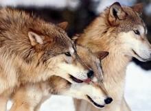 03-02-волки