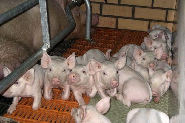 Поросята_свиньи