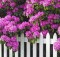 Rhododendrons and Picket Fence