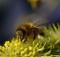 04-06-пчела