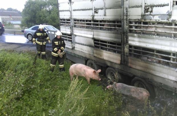 28-07-свиньи1