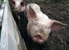 28-07-свинья