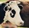 28-9-корова