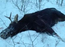 лось-охота