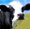 12-07-корова