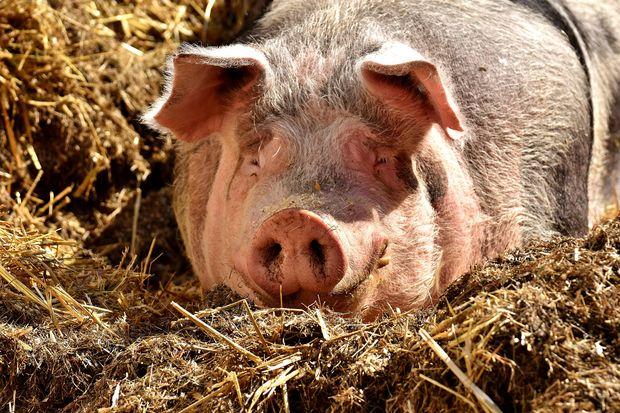 31-07-свинья