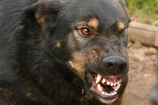 собака-бешенство