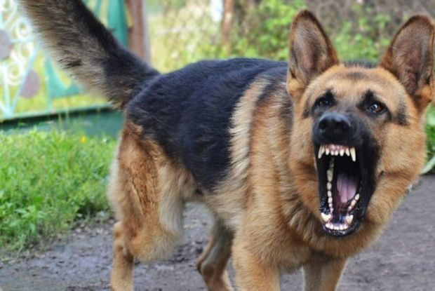 собака-немецкая овчарка