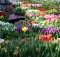 01-03-тюльпаны