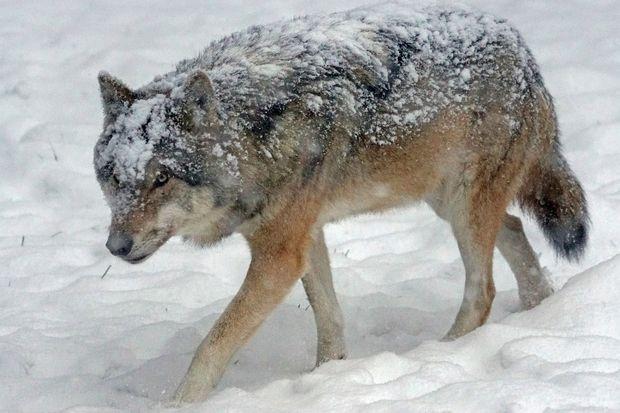 28-03-волк