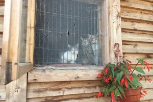 кошки за окошком